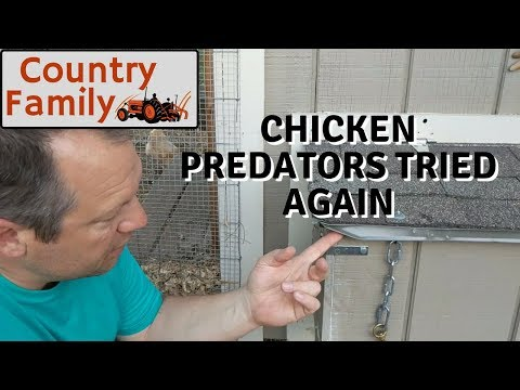 Chicken Predators 2 - They tried again but failed this time - How to predator proof the chicken coop