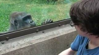 NC Zoo - Gorilla Interaction