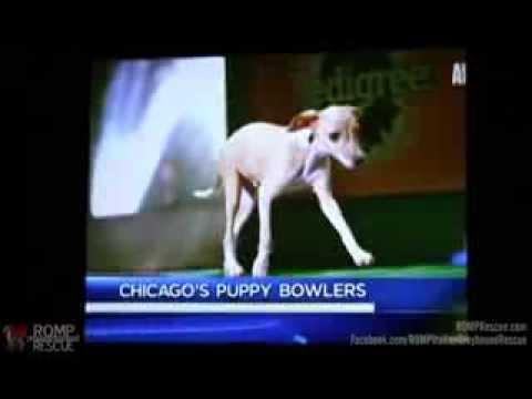 Puppy Bowl Players Taser & Sharpie on NBC Chicago 10pm News - ROMP Italian Greyhound Rescue