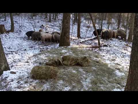 Dry sows during the winter