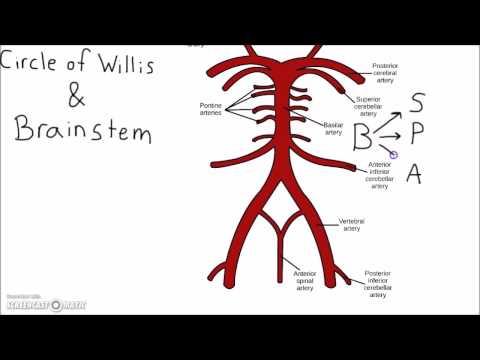 Neuroscience - Circle of Willis Mnemonic