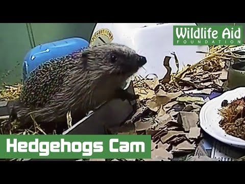 Cute Hedgehogs Found Guilty of Wrecking the Furniture!