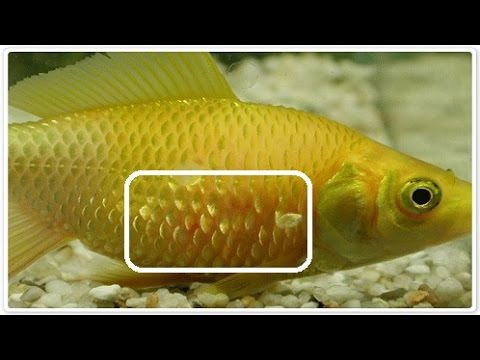 Aquarium Fish Disease & Treatment