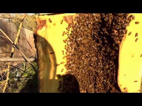 Bee Removal 034 - Bees in Tree