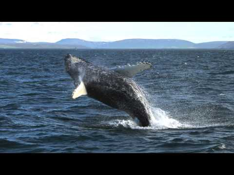 Amazing whale watching in Iceland with Salka Whale Watching Húsavík Walbeobachtung