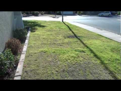 How To Plant Bermuda Grass (5 weeks after planting)