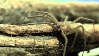 Download The Truth about the Brown Recluse Video