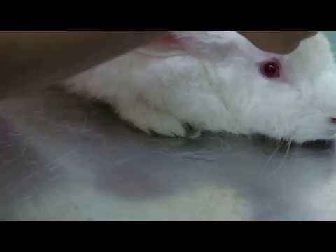Veterinary Files from Myanmar: A Yangon rabbit has lost appetite for the past 2 weeks
