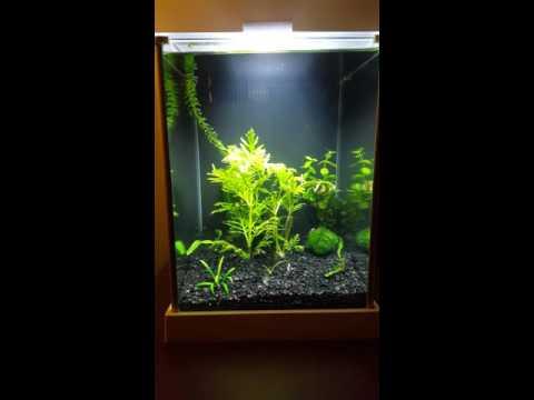 Fluval Spec 3 planted tank - Dumbo Betta