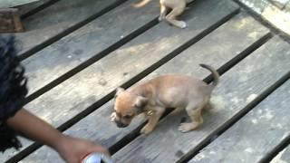 ELI/REDBOY puppys 2mo f/s 355