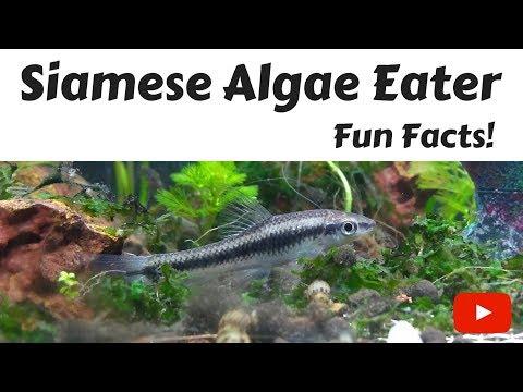 Siamese Algae Eater Fun Facts