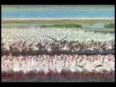 African fish eagle hunts flamingos