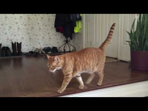 Cat meowing because he wants to go outside