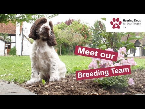 Hearing Dogs TV episode 1: Meet our puppy breeding team