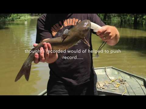 Reelfoot channel cats