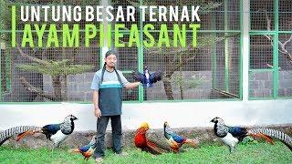 Meraup Untung Ternak Ayam Pheasant, Ayam Hias Mahal Berbulu Eksotis