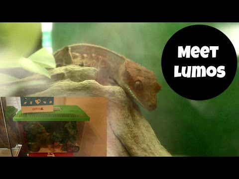 Getting My Crested Gecko VLOG! + Setup   Alyssa Nicole  
