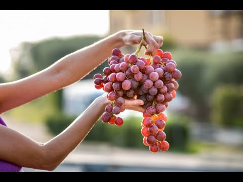 GROWING GRAPE VINES FROM SEEDS