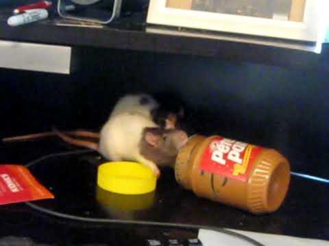 Rats opening a peanut butter jar