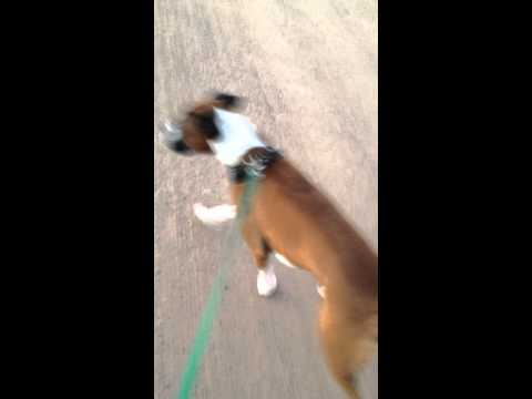 Training my boxer not to pull when he sees other dogs . He's gotten 100x better !