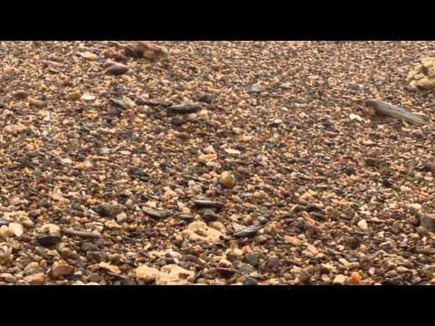 Hermit Crabs on Corong Corong Beach