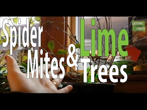 Spider Mites, Lime Trees, and Green Thumbs?