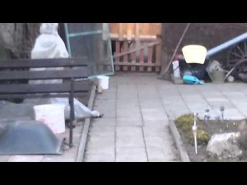 malý pes skáče přes branku - unbelievable small dog jumps over the gate