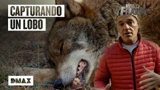 Download Wild Frank ayuda a atrapar un ejemplar de lobo ibérico Video