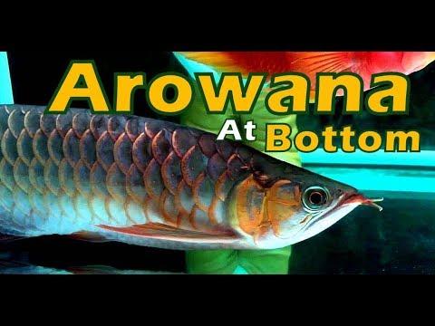 Asian Arowana & Silver Arowana - Sitting at Bottom -  Causes & Solution