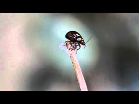 House beetle