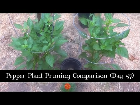 Pepper Plant Pruning Comparison, Day 57
