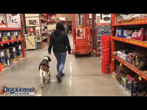 Skittish and Scared Hound-Mix, Parker! Confidence Building Dog Training   Off Leash K9 Training