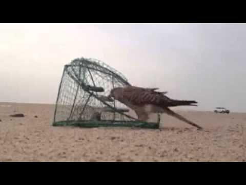 This is How They Catch A Falcon