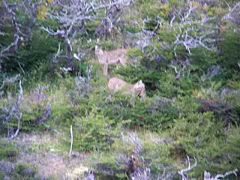 A couple of pumas hunting near the Ecocamp Patagonia