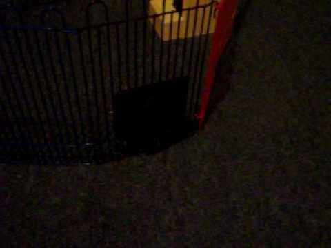 Dwarf Hamster Escape (Live Footage)