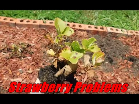 Strawberry Plant Problems