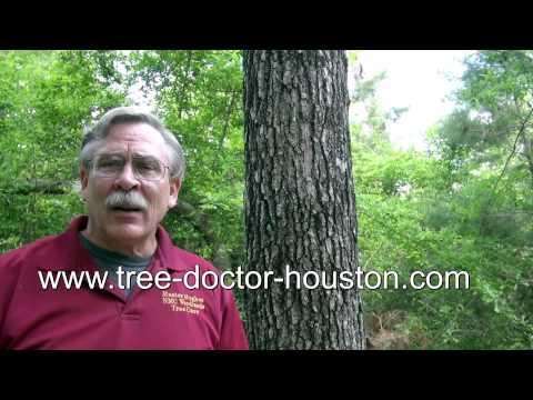 Oak tree fungus Houston     by Tree doctor Master Hughes