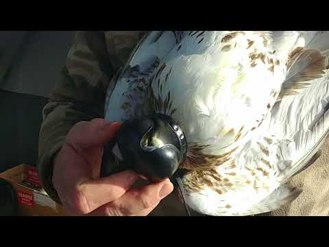 Falconry trapping Redtail