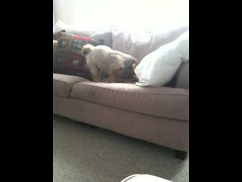 Our Dog burying his Bone(Rawhide) in the sofa