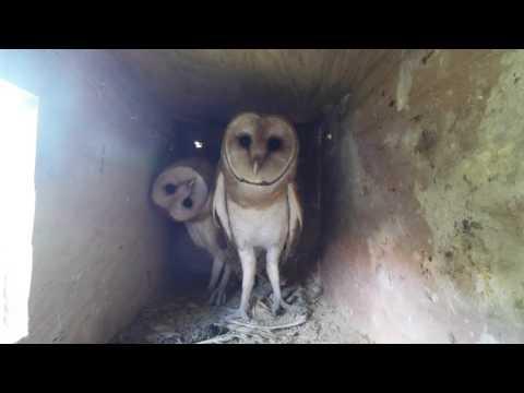 Barn owls nest cam