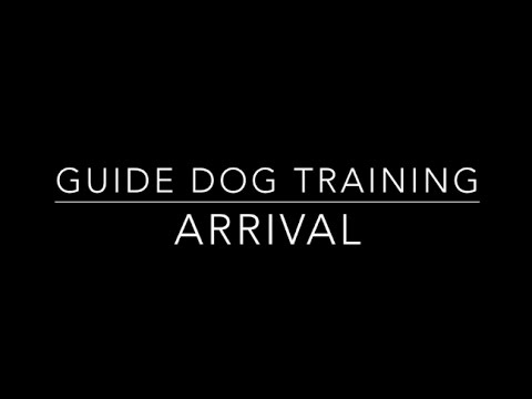 Guide Dog Training:  Arrival