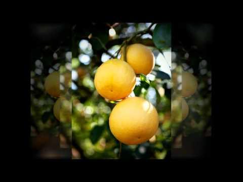 The Story of a Texas Grapefruit