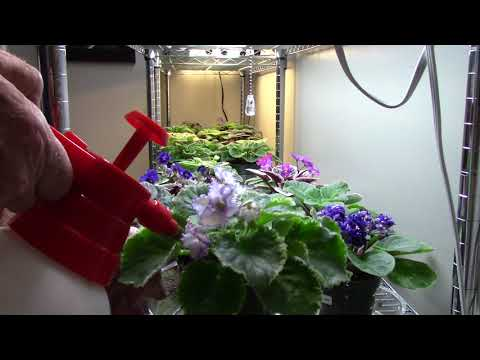 African violets...............how I water.....