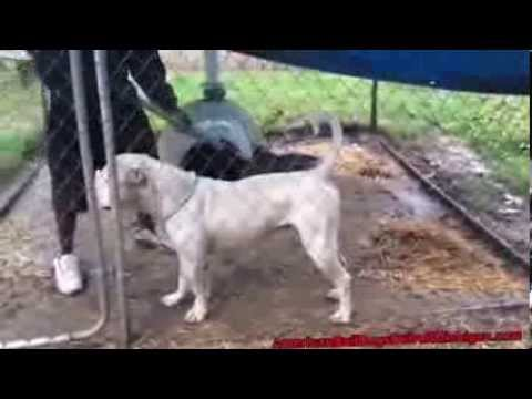 How To Run A Dog Kennel From Home American Bulldog