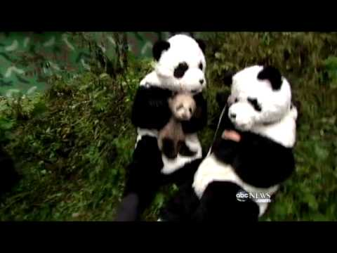 Panda Researchers Dress Up to Help Cubs