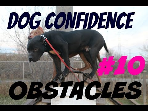 buliding dog confidence part 1 pitbull pit bull puppy muscle bully body building