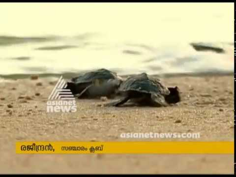 Sea turtle sent back to Sea in Thrissur Valapad | കടലാമകളെ വിരിയിച്ച് തിരികെ കടലില് വിട്ടു