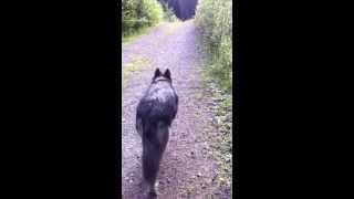 Wolfdog Walking 3