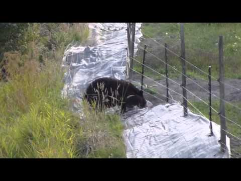 bear vs the electric fence.m2ts