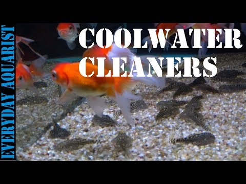 Best Algae Eating Fish and Cleaners for Cold Water, Temperate and Unheated Aquariums